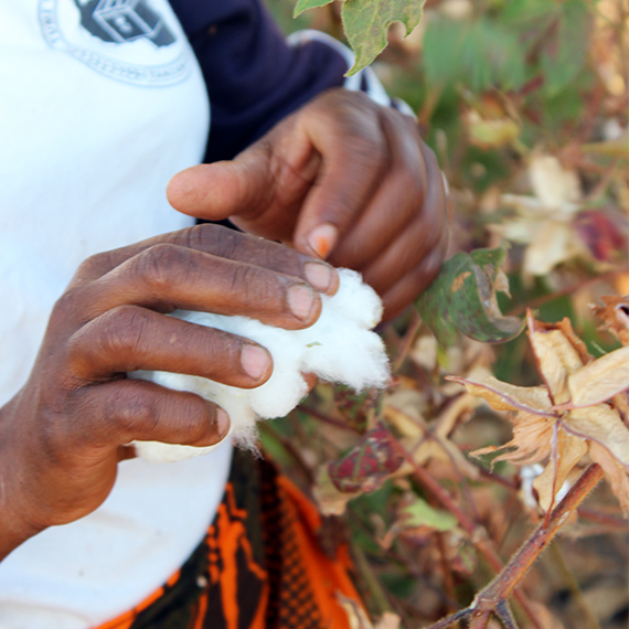 Small Farmers Benefit from Fair Cotton Prices and Sustainable Cultivation.